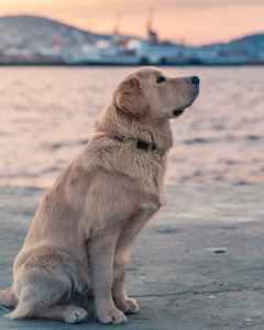 Golden retriever sitting, looking straight ahead